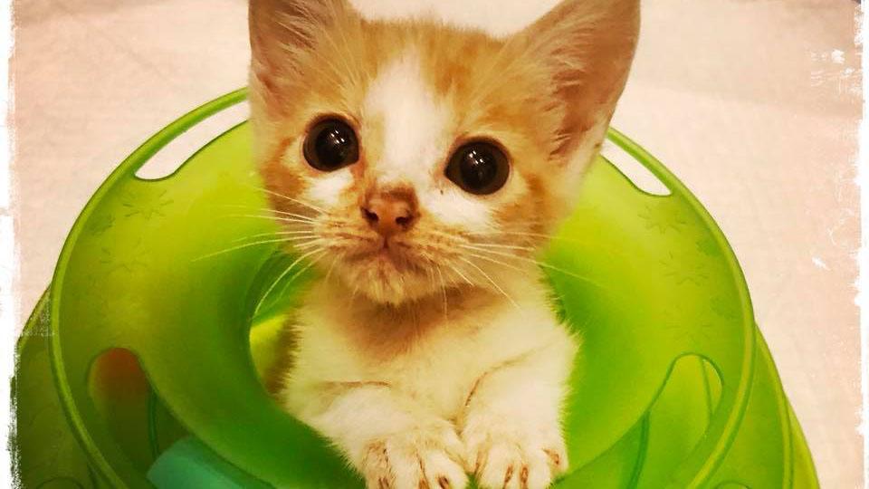 成長しない手の平サイズの病猫を家族に。ミルクボランティアの決意