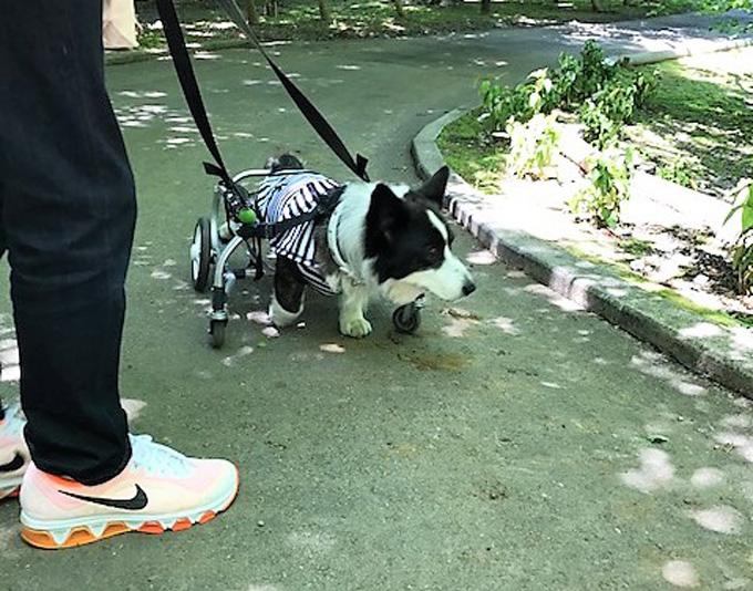 コーギー 車椅子 犬用 ドッグラン ペットロス いぬ 犬 イヌ ペット 犬専用