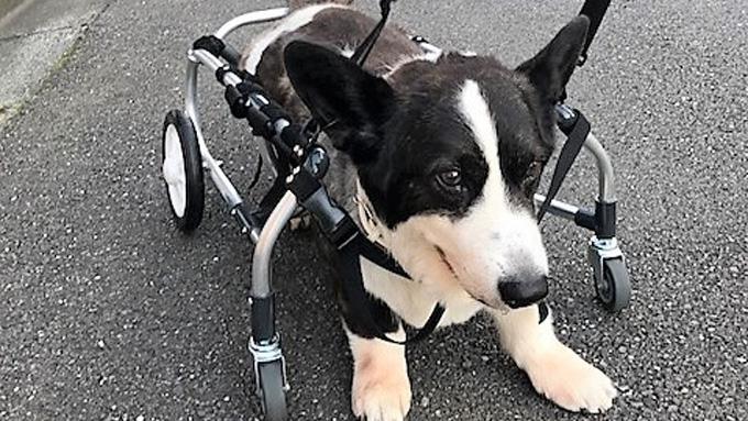 車椅子が愛犬と家族を笑顔に! シニア犬の闘病記と挑戦記
