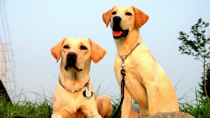 盲導犬候補生との出会いと別れ。飼育ボランティアの15年の感動物語