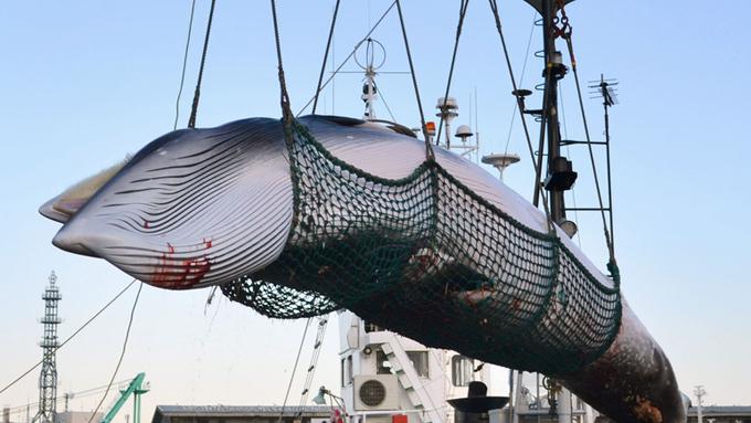 日本がIWC脱退で商業捕鯨の再開~永遠に一致しない議論