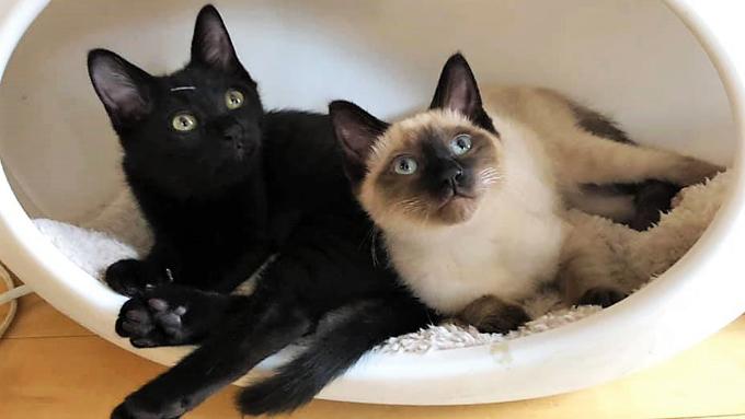 猫との縁はクリスマス 老婦人と孫の思い出を彩ったシャム猫の物語