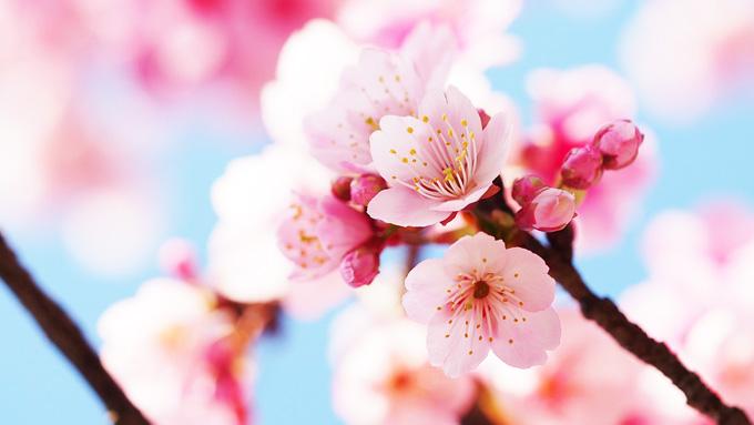 一重咲き、八重咲き…お花見で実践できる桜の見分け方
