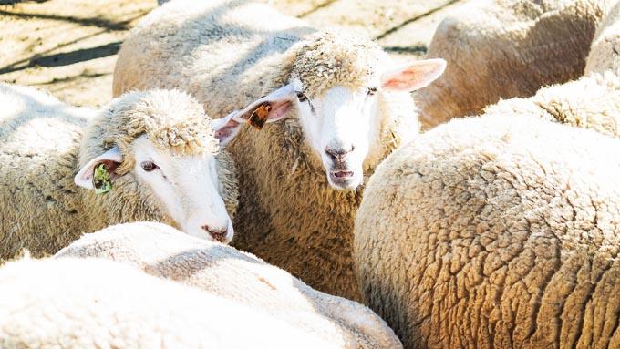「羊を数えると眠れる」と言われているのはなぜ?