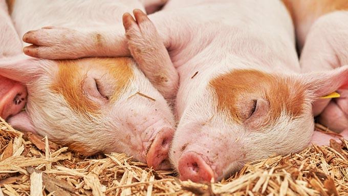 豚は太って見えるけど体脂肪率は高いの? 低いの?
