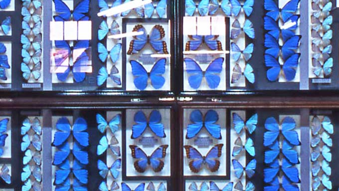 インスタ映えする「モルフォチョウの壁」も~100周年を迎える『名和昆虫博物館』