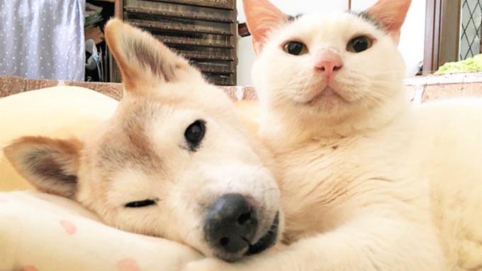 一目惚れした柴犬が認知症に…献身的に支えたネコの愛情