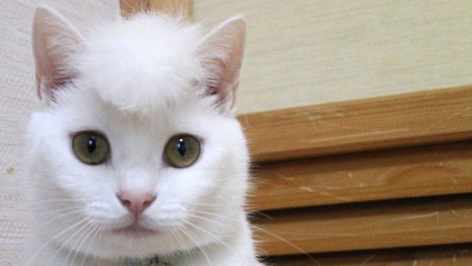 猫の頭を増毛したら想像以上の髪型に 「ツッパリ感がすごい」「笑える」