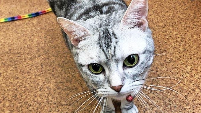 メスなのにオトコ顔~ふてぶてしい保護猫が譲渡先で見せた意外な顔