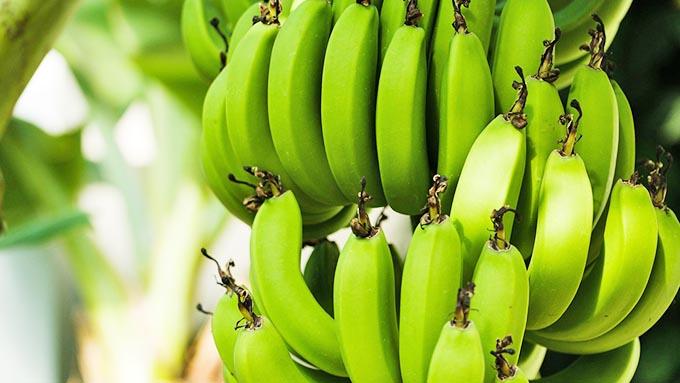 バナナが緑色の状態でしか輸入されない理由